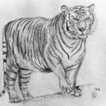 Tygrys – rysunek ołówkiem