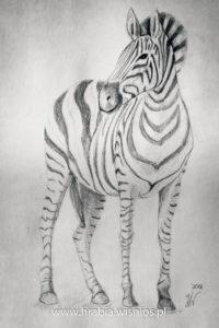 zebra-rysunek-ołówek-hrabia-wiśnios